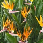 Strelitzia reginae or Bird of Paradise for sale in the UK